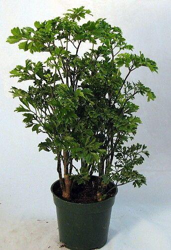 Japanese Ming Bonsai Tree Plant Polyscias Indoor 4 Pot