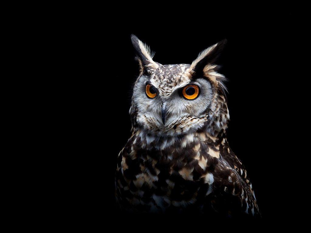 Owl, black background wallpaper 1024x768