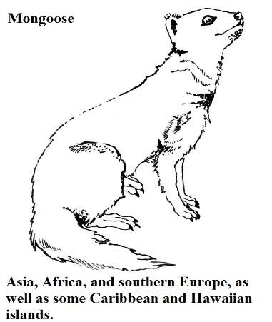 Mongoose coloring pages and facts super sam february 4 for Mongoose coloring page