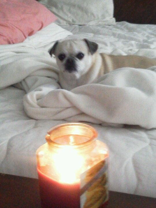 A Candle For Cowboy Love Lala In Oklahoma Pug Love Pugs Animals