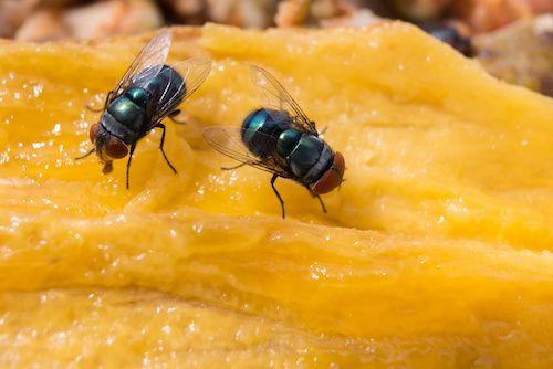 comment se d barrasser des mouches les mouches d testent. Black Bedroom Furniture Sets. Home Design Ideas