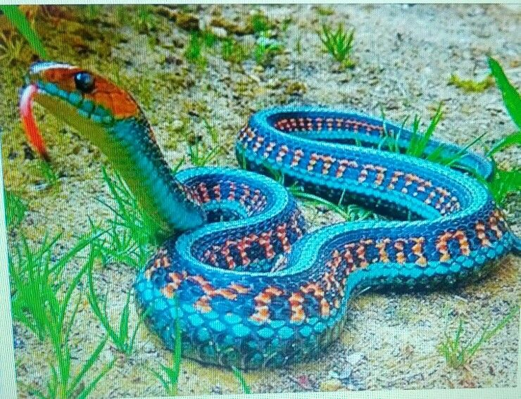 The Beautiful California Red Sided Garter Snake Colorful Snakes