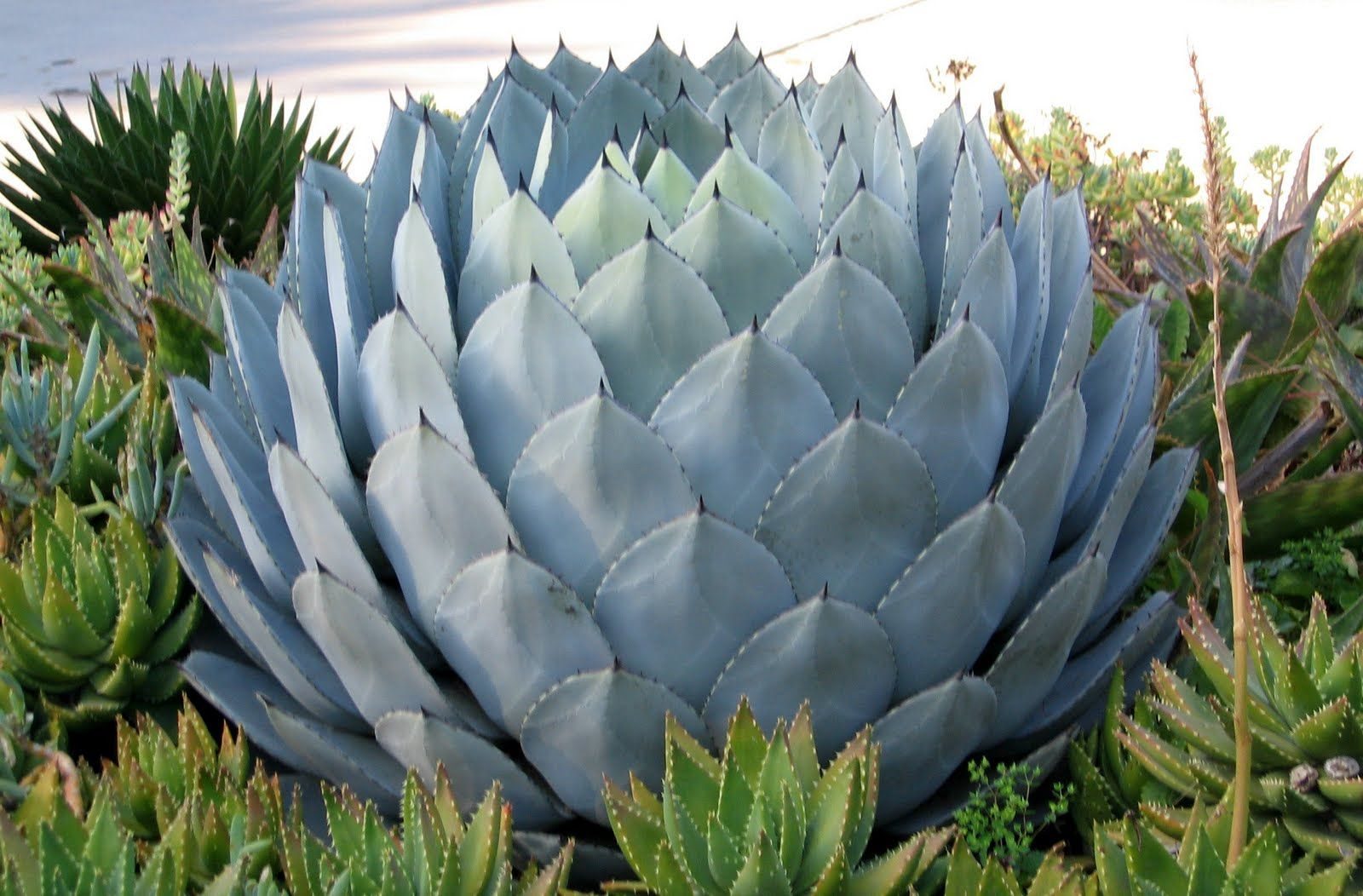 this species looks like a giant artichoke Agave , Bing