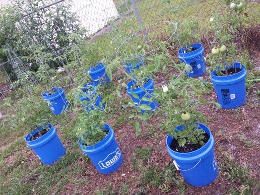 My Lowes 5 gallon bucket tomato plants! Doing great in a