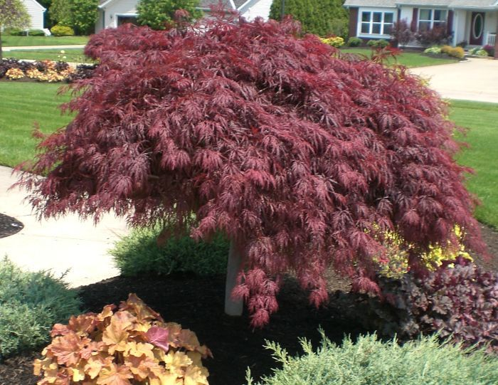 Crimson Queen Japanese Red Maple This Will Be The Center Piece In