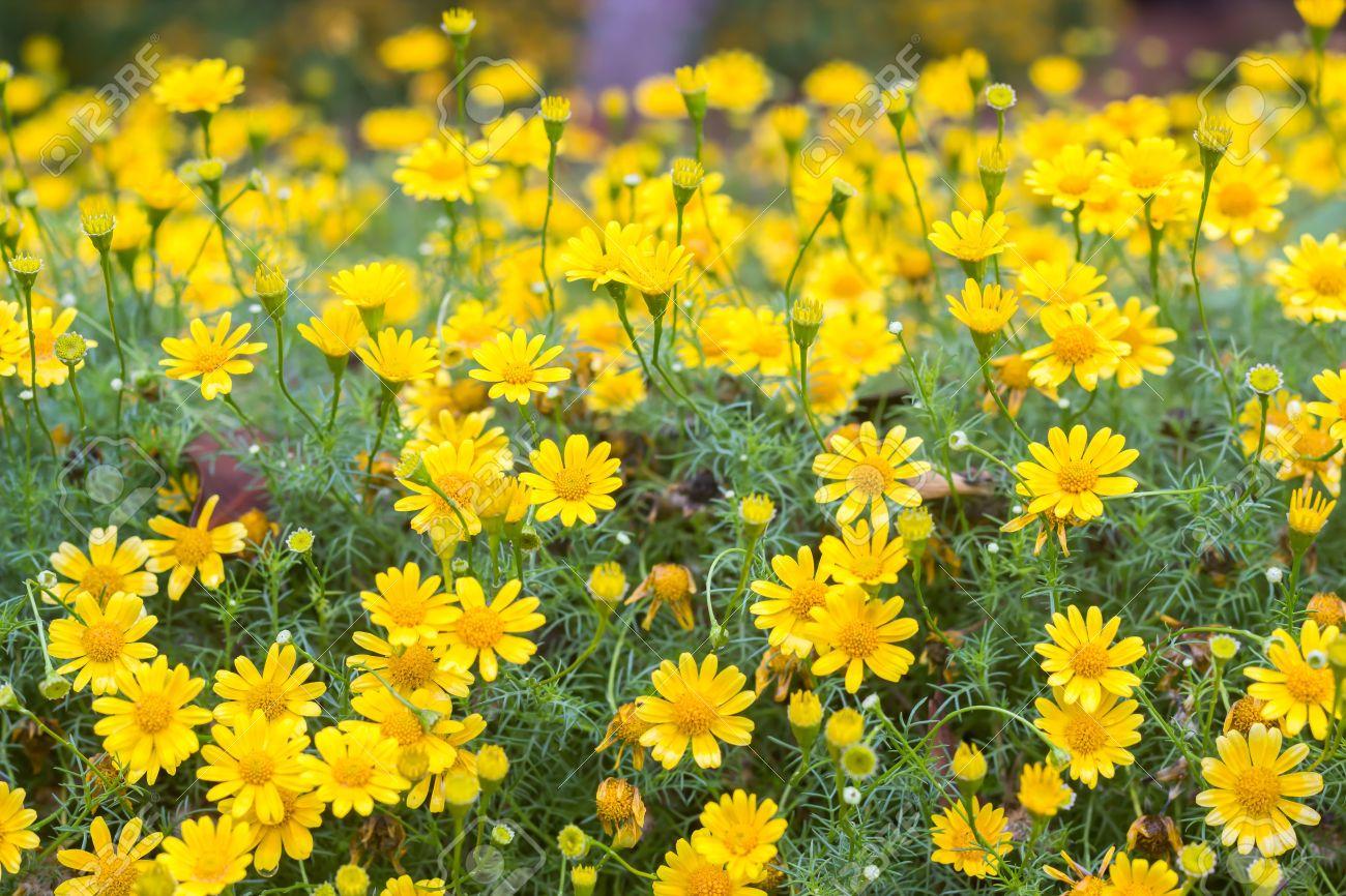 Dahlberg Daisy Or Golden Fleece Flower Garden Idea Pinterest