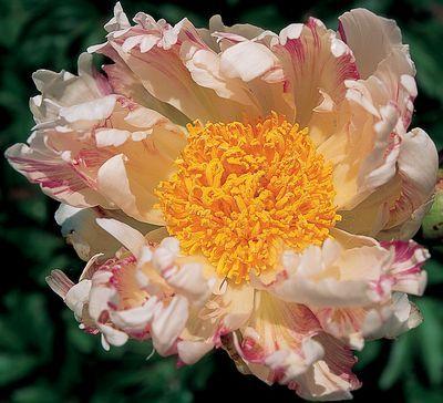 Vanilla Raspberry Swirl Peony Peonies Peonies Garden Flower Identification