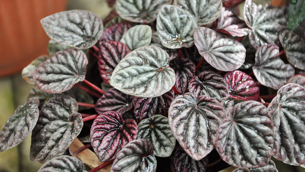 Peperomia caperata care & info | Peperomia plant, House ... on purple leaf plants with leaf, purple leaf shrub with pink flowers, hydrangea with purple leaves,