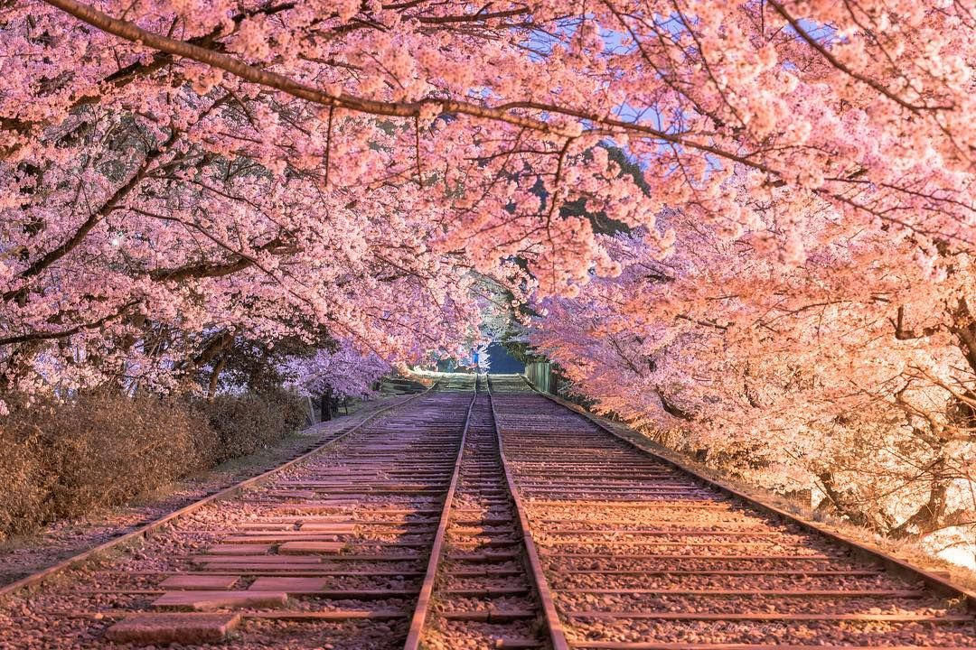 Location Kyoto Japan In Kyoto Keage Incline Old Railroad Is Covered With Sakura April 2018 Prすみません Cherry Blossom Wallpaper Scenery Nature