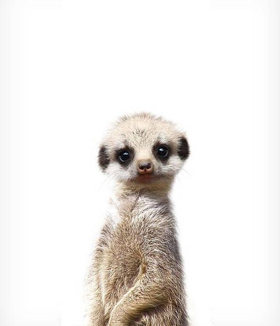 Meerkat print, Safari animal prints, The Crown Prints, Baby room decor, Nursery wall art, Baby animal prints, Nursery animals, Zoo animals