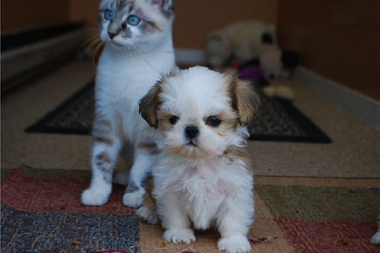 We Have 4 Amazing Little Shih Tzu Puppies Very Playful And Active
