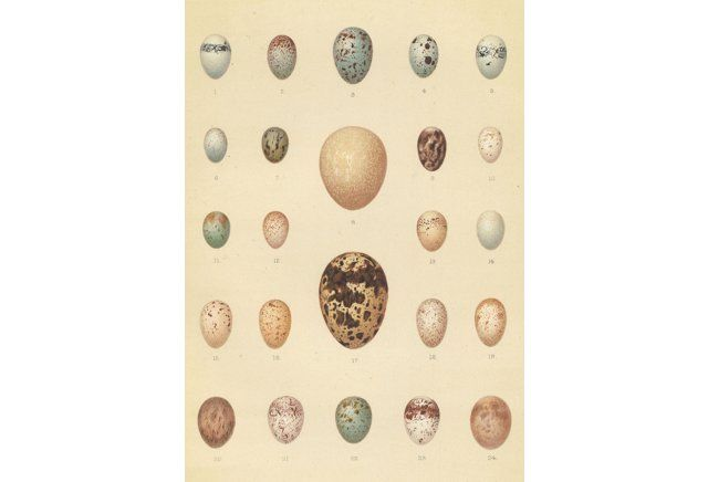 Variety of Bird Eggs, 1910