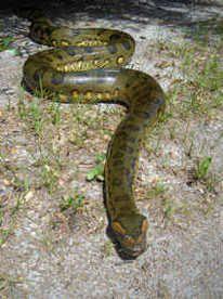 Green Anaconda The Heaviest Snake In The World Bite Me Green