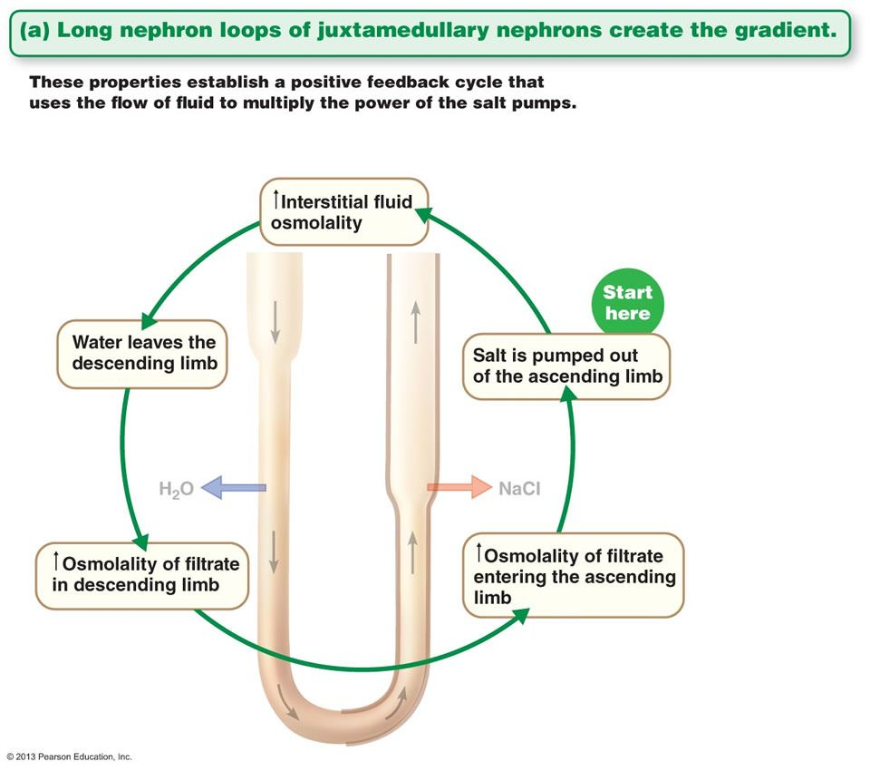 The Urinary System - filtration | Anatomy and Physiology | Pinterest