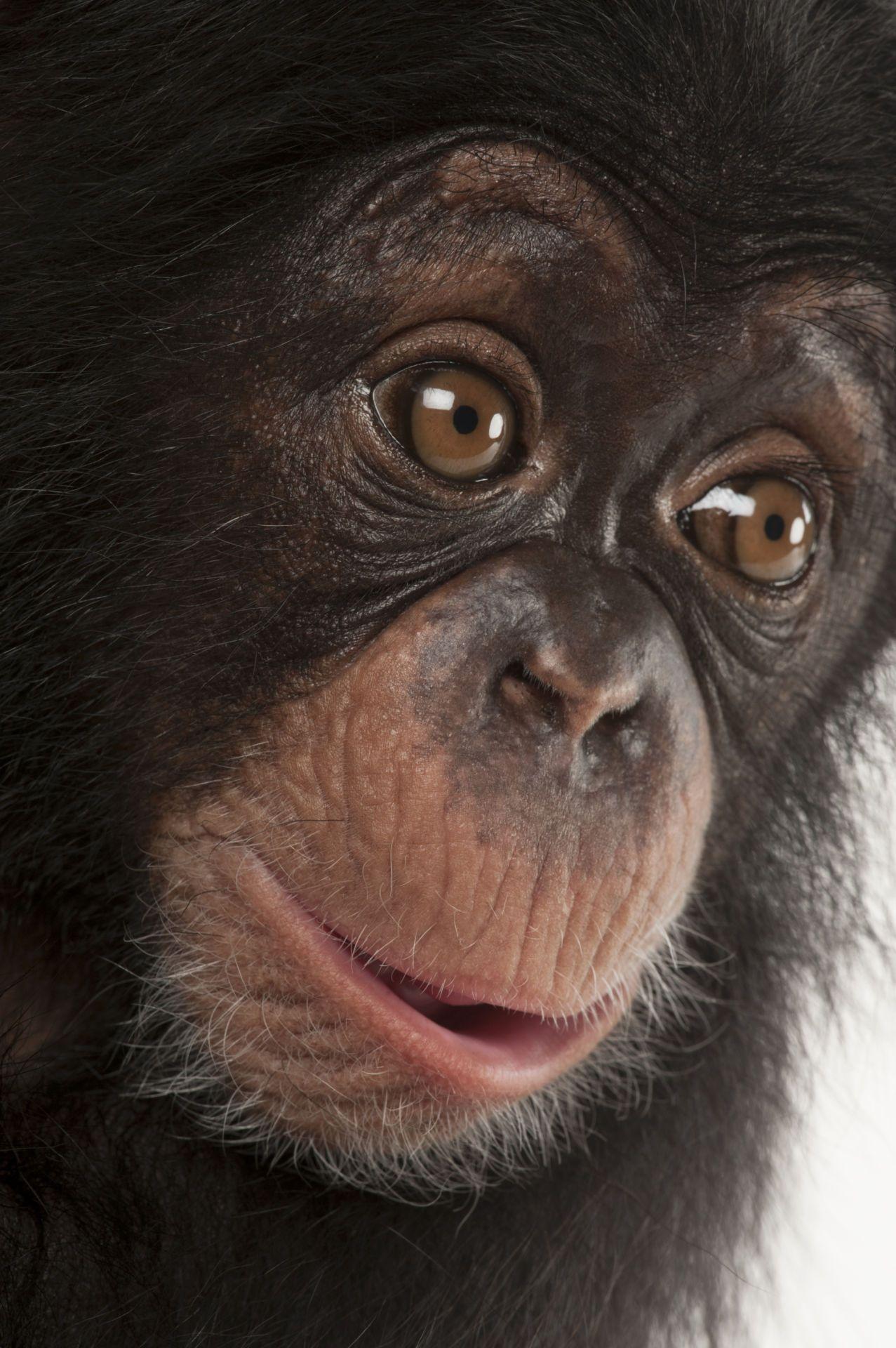 ANI040-00249 | Baby chimpanzee, Chimpanzee, Cute wild animals