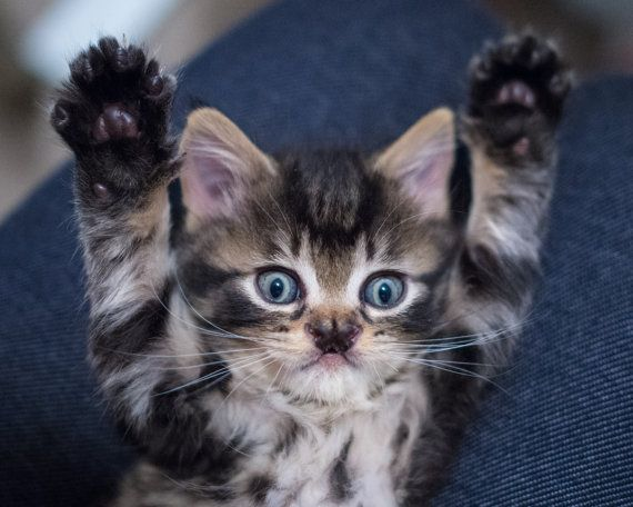 Photograph Of Excited Marvel Fluffy Cat Kittens Cutest Mama Cat