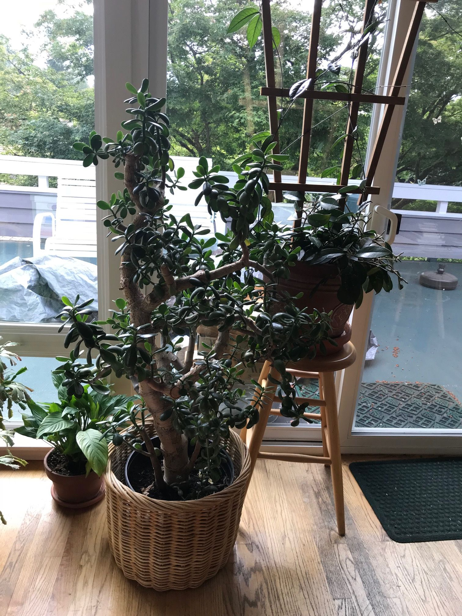 Large Jade And Hoya Plants Hoping To Bring Them But