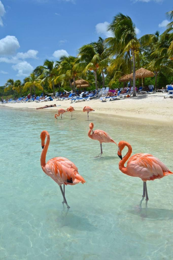 Flamingos on a beach in Aruba.