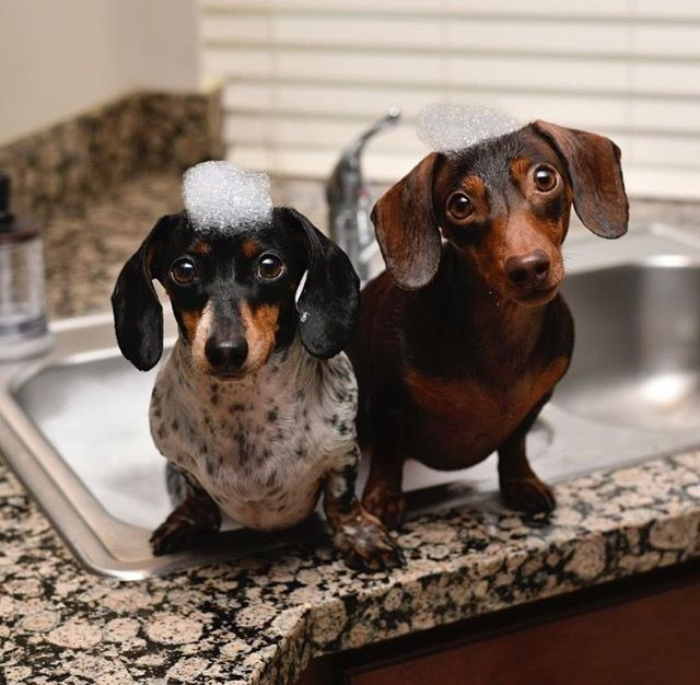 Indy And Harlow I Love These Babies Funny Dachshund Pictures