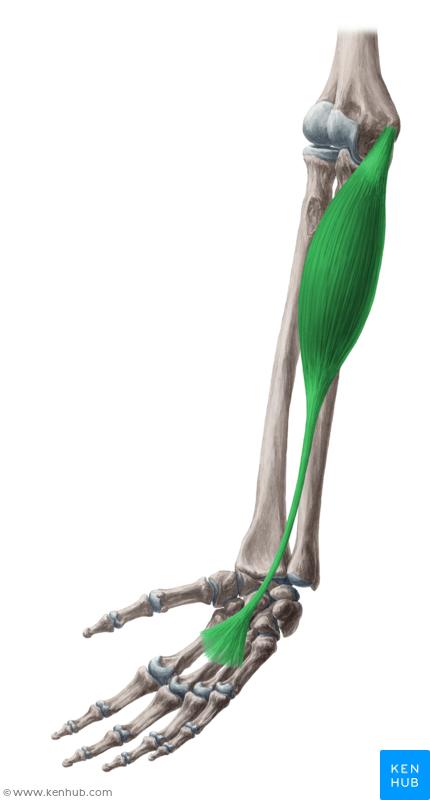 Palmaris longus muscle (Musculus palmaris longus)   Musculus   Pinterest