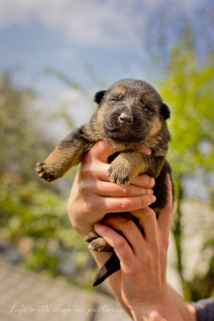 Brand new darling little baby German Shepherd puppy. My cheeks hurt I'm smiling so big!