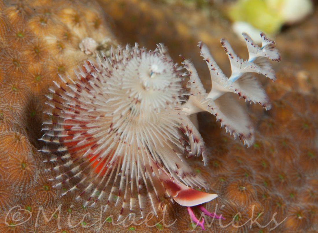 Bahamas Christmas Tree Worms Underwater Images Tree Christmas