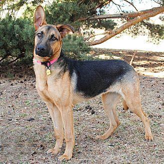 German Shepherd Dog Hound Unknown Type Mix Dog For Adoption In Denver Colorado Shiloh Shepherd Dog Mix