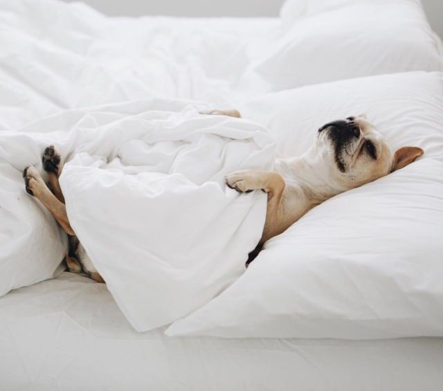 Adorable Dog Sleeping In Bed Cute Love Frenchie Sleeping Dogs