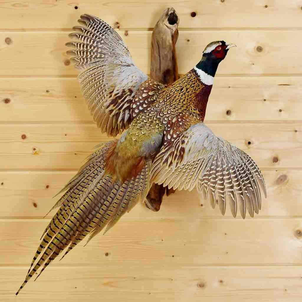 Flying Ring Necked Pheasant Taxidermy Mount Sw4907 Taxidermy Mounts Taxidermy Waterfowl Taxidermy
