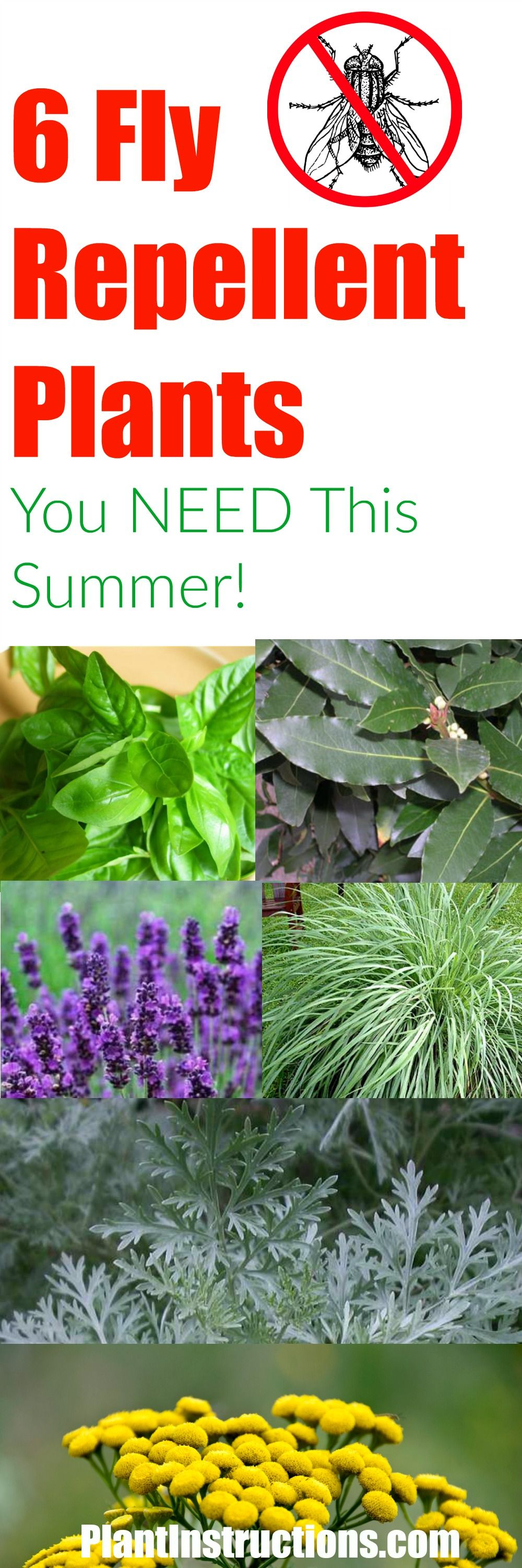 6 fly repellent plants you should have around your home plants flowers fly repellant. Black Bedroom Furniture Sets. Home Design Ideas