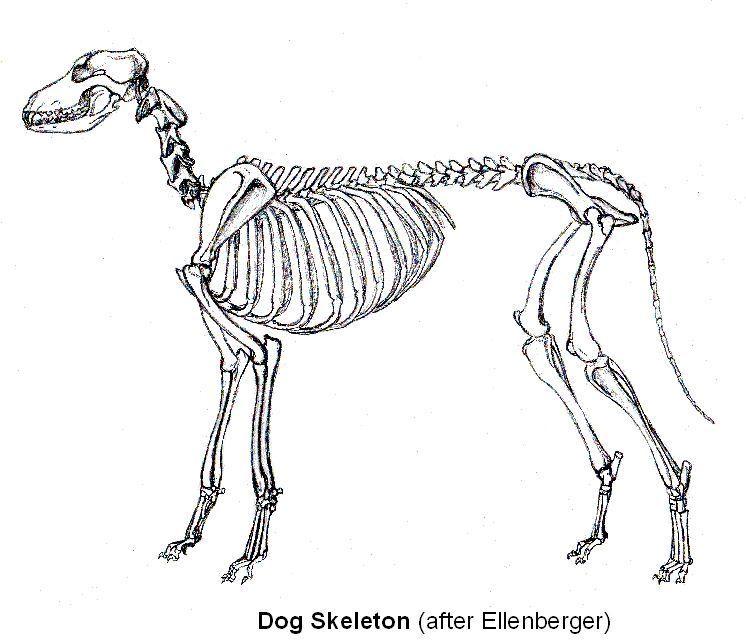 Imagenes De Esqueleto Animal El Perro Imagenes De Esqueleto Animal El Perro Asombro Animal Skeletons Skeleton Drawings Animal Drawings