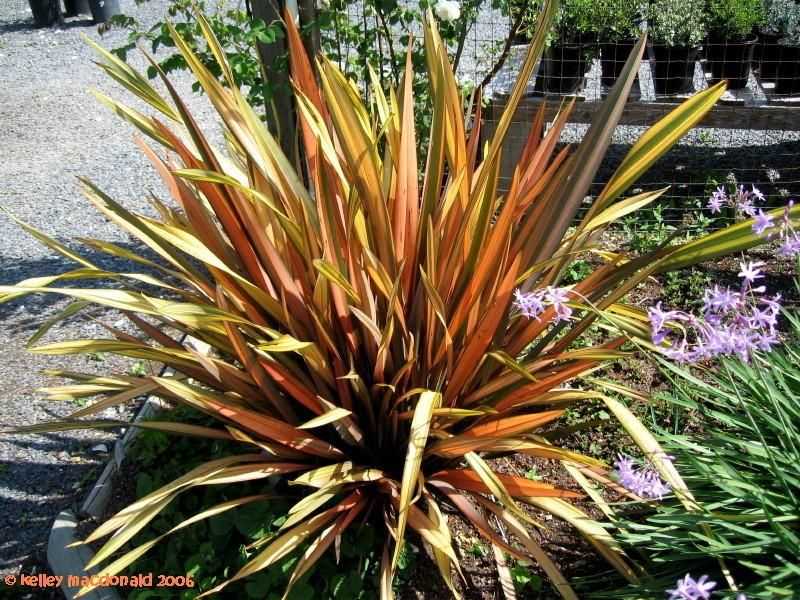 New Zealand Flax Flamingo Phormium Cookianum New Zealand Flax Garden Inspiration Front Yard Landscaping