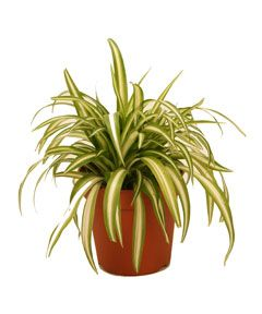 spider plant additional common names ribbon plant anthericum spider ivy scientific name. Black Bedroom Furniture Sets. Home Design Ideas