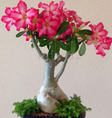 2 Pcs//Bag Adenium Obesum Desert Rose Bonsai Flower Seeds Rich Flowers Double Pet