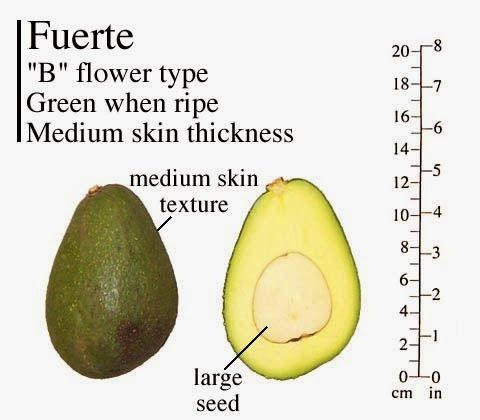 Zutano Avocado Tree 26 F B Flower Type 50 Tall Upright Growth Very Hardy Avocado Varieties Avocado Avocado Plant