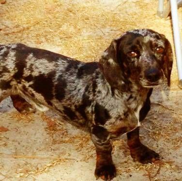Dapple Dachsund Dapple Dachshund Pets For Sale Cute Animals