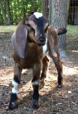 Mini Nubian Moonspotted Buckling For Sale Goats Cute Goats Goats Baby Farm Animals