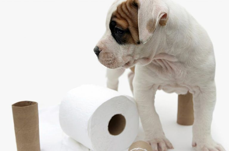 How To Potty Train An Older Dog Puppy Potty Training Tips