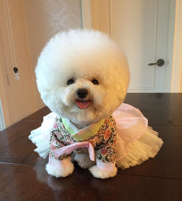 Image result for fancy bichon