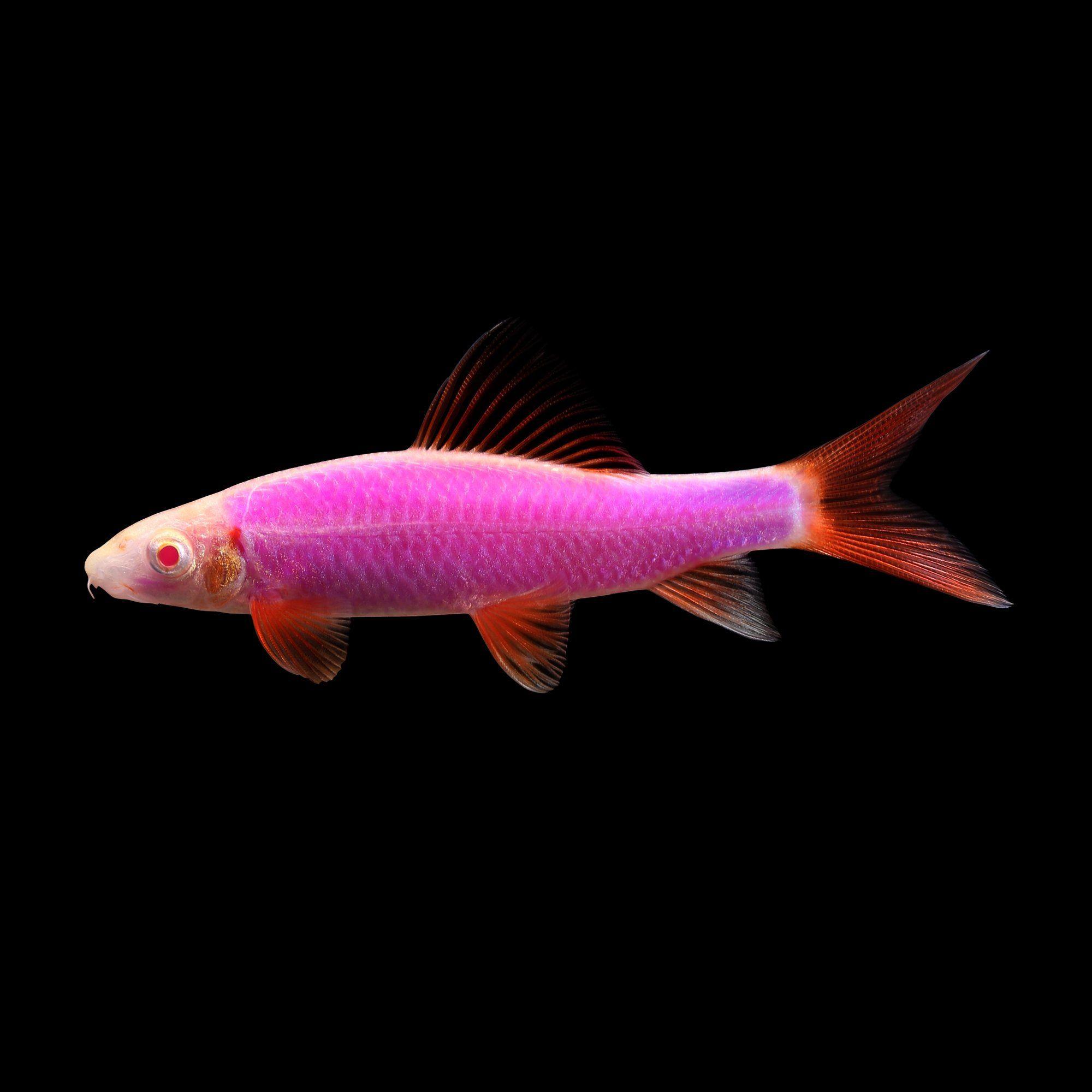 Glofish Galactic Purple Sharks For Sale Order Online Petco In 2020 Glofish Petco Glow Fish