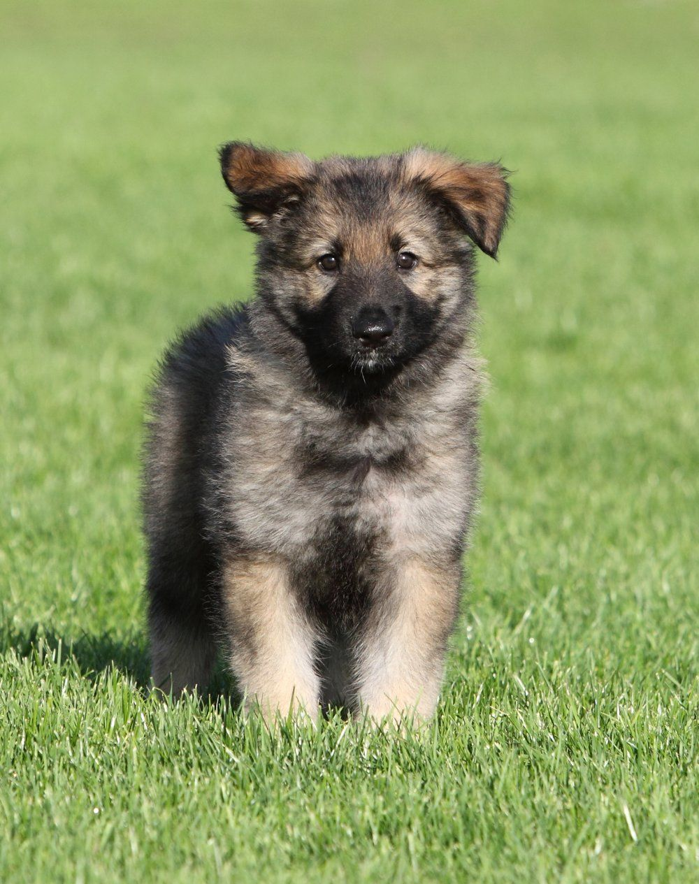 20 German Shepherd Puppies That You Ll Want To Take Home