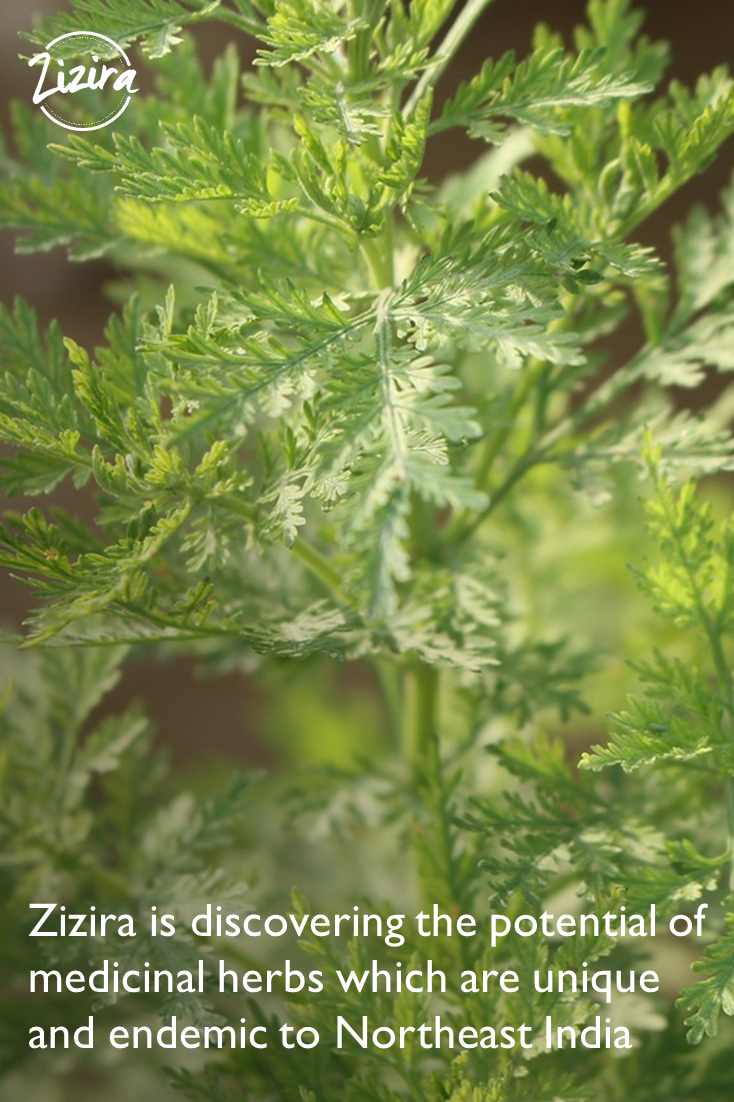 Mentha piperita and Artemisia annua. Both of these herbs have high demand in the pharmaceutical industry and he also pointed out that Meghalaya had the ideal condition in which they could flourish and thrive.