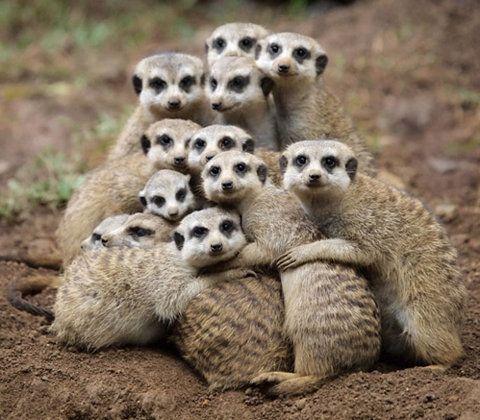 a whole pile of meerkats