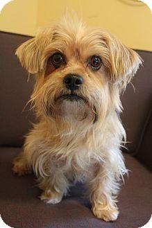 Bedminster Nj Shih Tzu Yorkie Yorkshire Terrier Mix Meet Brewster A Dog For Adoption Http Www Adoptape Dog Adoption Kitten Adoption Small Dog Adoption