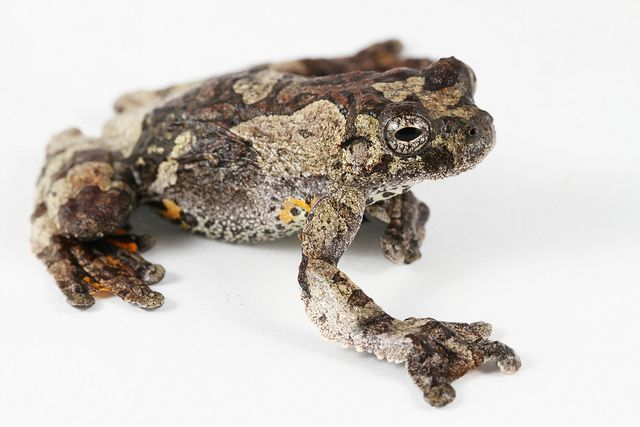 Marbled Tree Frog By Monarchzman Frog And Toad Frog Tree Frogs