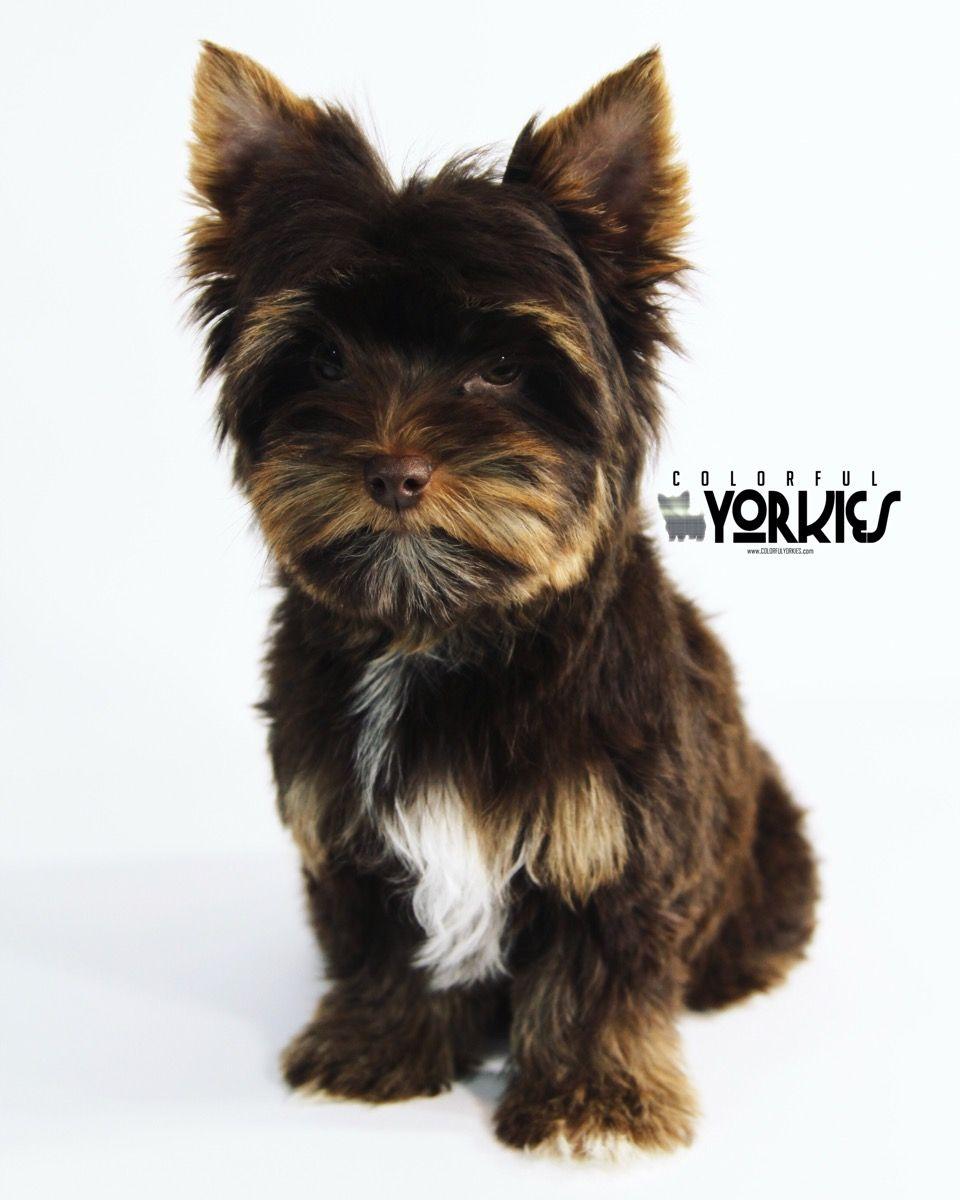 Deep Dark Chocolate Male Yorkie Available At Www Colorfulyorkies Com Yorkie Puppy Yorkie Yorkie Dogs