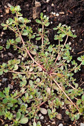Juste une mauvaise herbe ou une plante m connue qui renforce la sant cpj pinterest - Mauvaise herbe jardin potager ...