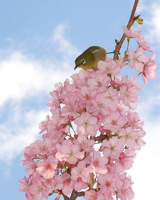 Mejiro On A Cherry Tree Ume