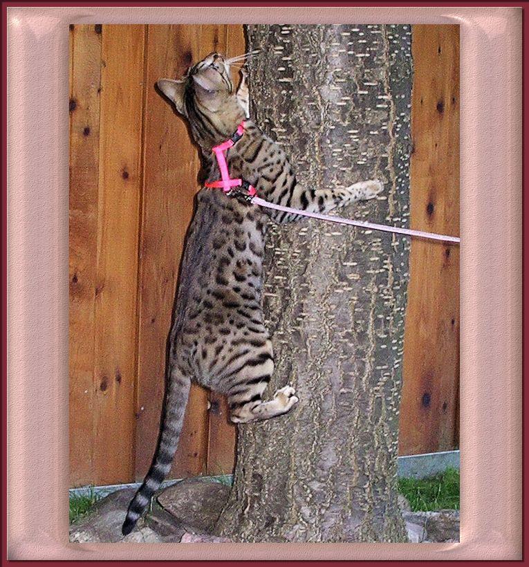 Bengal Cat Climbing Tree Bengal Cat Asian Leopard Cat