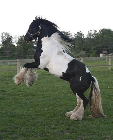 irish_gypsy_cob